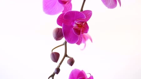flower buds : beautiful Phalaenopsis orchid flowers