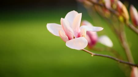 magnólia növény : Beautiful pink magnolia flower