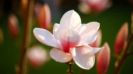 кусты : Beautiful pink magnolia flower