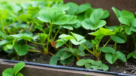 seedlings : wooden garden in the shape of a pyramid with planted strawberries