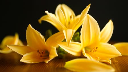 Флорес : Yellow Lily flowers and buds Стоковые видеозаписи
