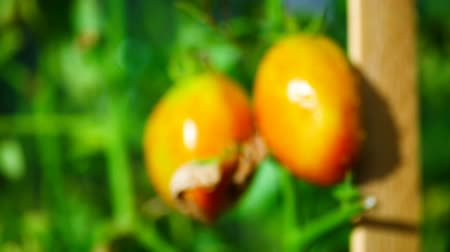 unripe : Ripening tomatoes on a sunny warm day