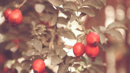 briar : Ripe red briar berries on a bush branch on the outdoors Stock Footage