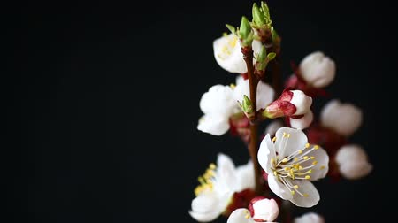 사쿠라 : Branch with apricot flowers on a dark background