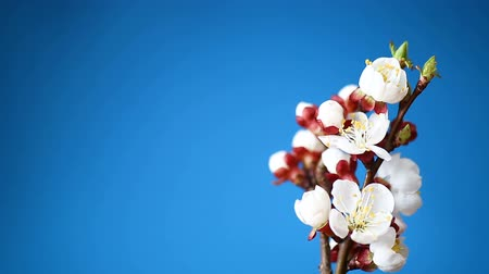 brzoskwinie : Branch with apricot flowers on a blue background