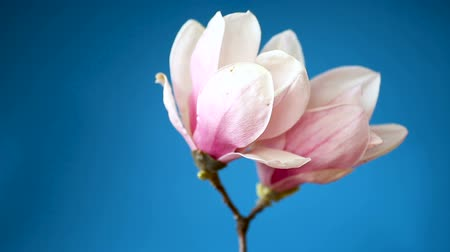 ornamentální : spring beautiful blooming magnolia on a blue