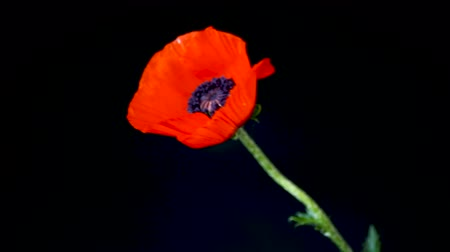 あなたの : beautiful red blooming poppy flower isolated on black 動画素材