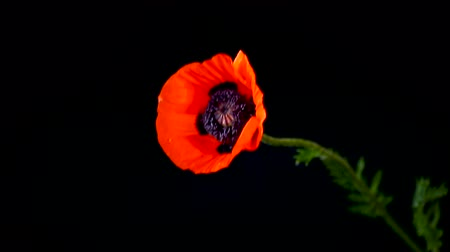 estigma : beautiful red blooming poppy flower isolated on black Vídeos