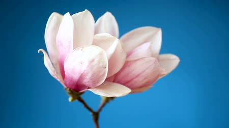 kankalin : spring beautiful blooming magnolia on a blue background