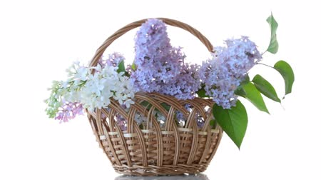 открытка : spring blooming bouquet of lilac isolated on white background