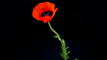 estames : beautiful red blooming poppy flower isolated on black background Vídeos