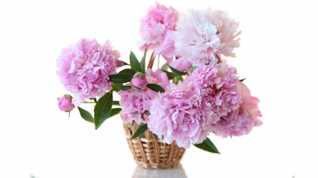 piwonie : bouquet of blooming peonies isolated on white background