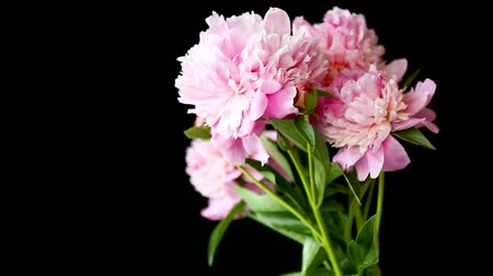 kartpostal : bouquet of blooming peonies isolated on black background