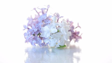 leylak : spring blooming bouquet of lilac isolated on white
