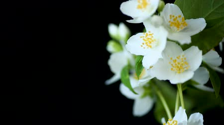 aromatik : beautiful white jasmine flowers on a branch isolated on black