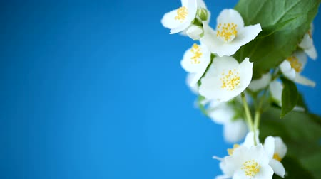 yasemin : beautiful white jasmine flowers on a branch isolated on blue