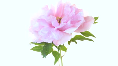 открытка : bouquet of blooming peonies on white background