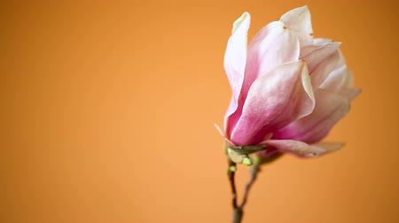 kankalin : spring beautiful blooming magnolia on a orange