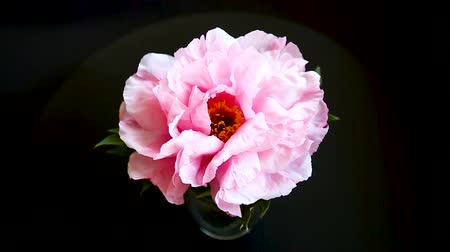 Pink Peony flower ,Paeonia suffruticosa, isolated on black Stok Video