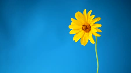 yellow summer blooming daisy flower isolated on blue Stok Video