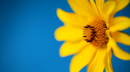 yellow summer blooming daisy flower isolated on blue Vídeos
