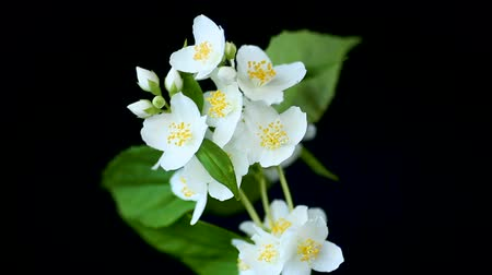 ジャスミン : beautiful white jasmine flowers on a branch isolated on black