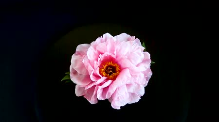 piwonie : Pink Peony flower ,Paeonia suffruticosa, isolated on black Wideo