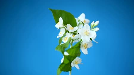 ジャスミン : beautiful white jasmine flowers on a branch isolated on blue