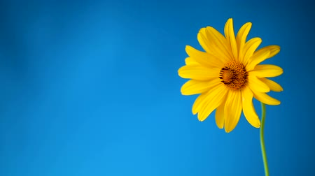 seu : yellow summer blooming daisy flower isolated on blue Vídeos