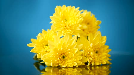 bouquet of yellow chrysanthemums on a blue Vídeos