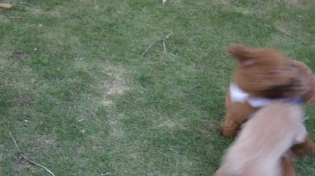 playing with a dog : Two poodle dogs playing together on the lawn Stock Footage