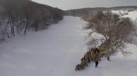ouvido : Winter landscape with fresh snow and a flock of sheep, aerial Vídeos