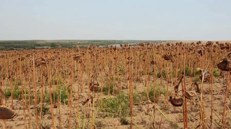 засуха : Sunflower field affected by drought Стоковые видеозаписи