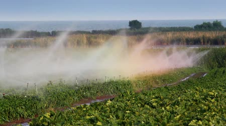 irrigação : Sprinkler irrigation of vegetables into the field.