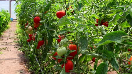 rajčata : Tomatoes growing in vegetable greenhouse Dostupné videozáznamy