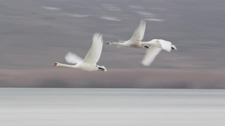 лебедь : Flying swans over frozen lake in slow motion