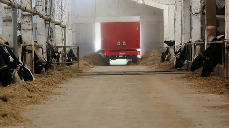 dairy animal : Dairy farm. Holstein dairy cows feeding.