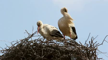 fészek : Storks in the nest (white stork) Stock mozgókép