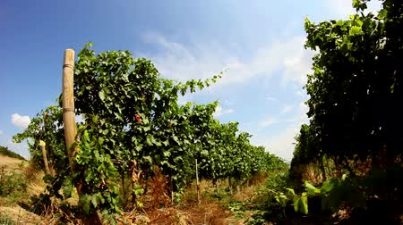 winnica : Vineyard landscape - ultra wide angle