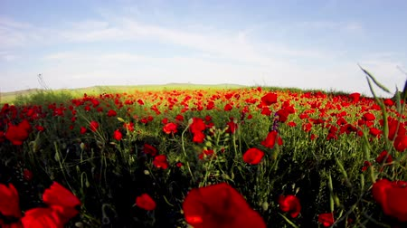 haşhaş : Field of red poppy flowers in early summer Wfisheye