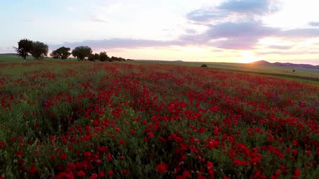 haşhaş : Field of red poppy flowers in motion Stok Video