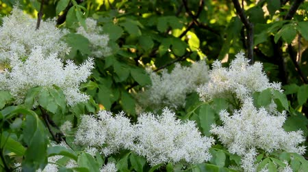 mürver : Beautiful blooming elderflower branch Stok Video