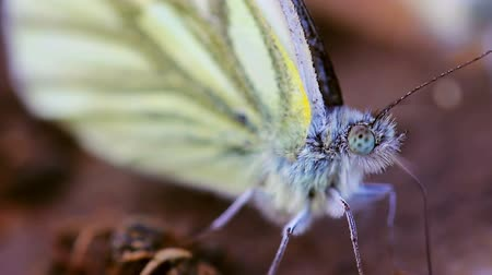butterflies in the stomach : Greenveined white butterfly Pieris napi