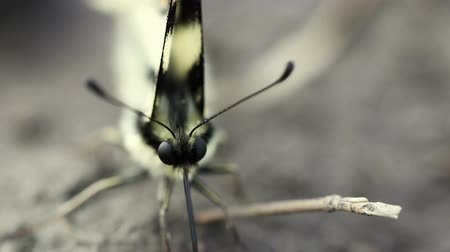 butterflies in the stomach : Scarce swallowtail butterfly Iphiclides podalirius