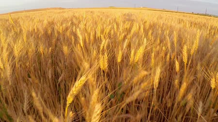 pszenica : Wheat field at sunset aerial Wideo