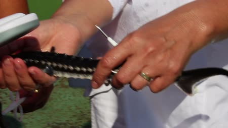 fish farm : Biologist catching and implanting microchips to sturgeons Acipenser stellatus