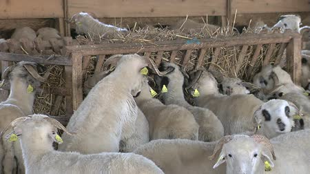 ouvido : Sheep farming in Dobrogea,Romania