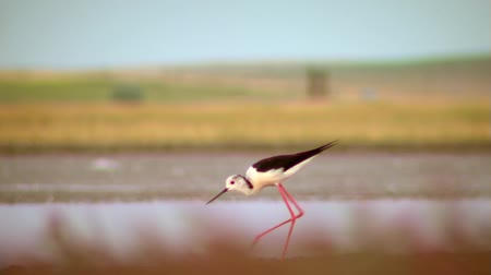 common salt : The  Common Stilt  Himantopus himantopus in Danube Delta ... Adults are 33-36 cm long. They have long pink legs, a long thin black bill and are blackish above and white below,with a white head and neck with a varying amount of black.