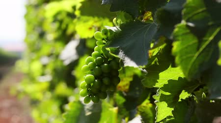 winnica : Unripe wine grapes growing in a vineyard