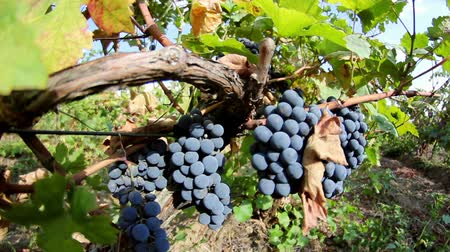 terroir : Close-up de raisin dans le vignoble